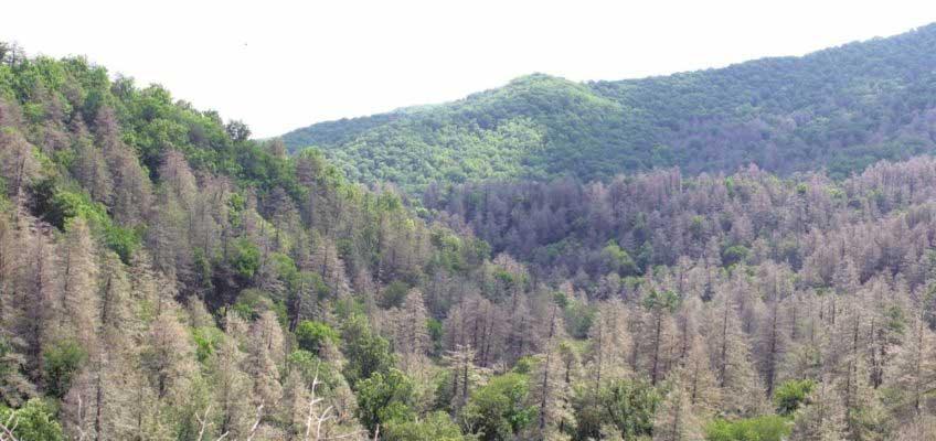 Hemlock ghost forest