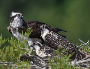 Adult Osprey and Nestlings